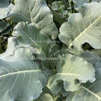 eko-brokkoli-4-800